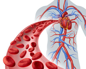 your heart and blood vessels